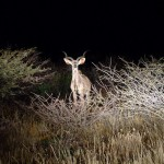 kudu at night